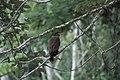 2014 Borneo Luyten-De-Hauwere-Bird-17.jpg