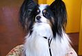 2014 Westminster Kennel Club Dog Show (12451796923).jpg