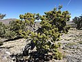 2015-04-27 12 54 35 An older Utah Juniper on the north wall of Maverick Canyon, Nevada.jpg