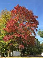 2015-10-21 12 50 27 White Ash during autumn along Pennington Road (New Jersey Route 31) in Ewing, New Jersey.jpg