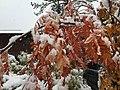 2015-11-02 10 31 45 Snow on a Mountain-Ash's autumn foliage along Brockway Road in Truckee, California.jpg