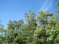 20150518Robinia pseudoacacia1.jpg