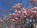 2016-03-18 10 50 48 Saucer Magnolia blossoms along Tranquility Lane in the Franklin Farm section of Oak Hill, Fairfax County, Virginia.jpg