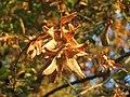 20160911Carpinus betulus1.jpg