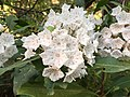 2017-05-17 17 39 57 Mountain Laurel blossoms near Forge Creek and Forge Creek Road in Great Smoky Mountains National Park, within Blount County, Tennessee.jpg