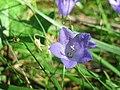 20170823Campanula rotundifolia1.jpg