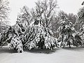 2018-03-21 12 51 28 Snow-covered Eastern White Pine saplings along a walking path in the Franklin Farm section of Oak Hill, Fairfax County, Virginia.jpg