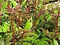 2018-05-13 (161) Cercopis vulnerata (froghopper) on plant at Bichlhäusl in Frankenfels, Austria.jpg