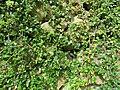 2018-06-01 (100) Cotoneaster dammeri (carpet cotoneaster) at Bichlhäusl in Frankenfels, Austria.jpg