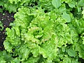 2018-06-18 (109) Lactuca sativa (garden lettuce) at Bichlhäusl in Frankenfels, Austria.jpg