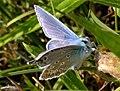 20190721 Leeuwenhorstbos - Icarusblauwtje (Polyommatus icarus) v1.jpg