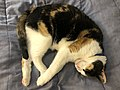 2021-01-14 13 30 20 A Calico cat sleeping on a bed in the Franklin Farm section of Oak Hill, Fairfax County, Virginia.jpg