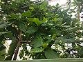 20210605 Hortus botanicus Leiden - Tamarindus indica.jpg