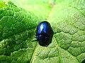 5805 - Schynige Platte - Coleoptera.JPG