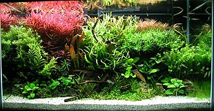Aquarium containing a variety of plants and a piece of driftwood, with white gravel at front and a plant with red leaves at the upper left.
