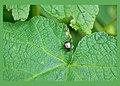 5 by 7 japanese beetle-1 edTMP-1.jpg