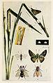 68-Indian-Insect-Life - Harold Maxwell-Lefroy - Parnara-mathias.jpg