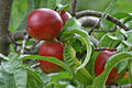 7.-Nectarine-ripened-fruit-bunch,-SC,-Vic,-Aust.jpg