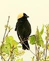928 - BOBOLINK (6-3-2018) muniscong wildlife area, chippewa co, mi -01 (42895863542).jpg