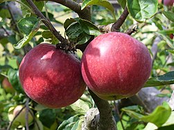 A Fine Pair of apples - geograph.org.uk - 916522.jpg