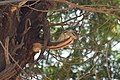 A beautiful Palm Squirrel sitting on cut branch of tree.jpg