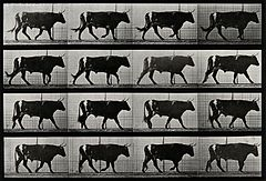 A bull walking. Photogravure after Eadweard Muybridge, 1887. Wellcome V0048760.jpg