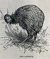 A kiwi. Wood engraving by W. & S. Ltd. Wellcome V0022321ER.jpg