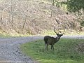 A stag on a forest road - geograph.org.uk - 773724.jpg