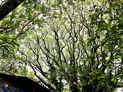 A tree near Cochin Shipyard.jpg