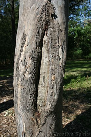 Coolamon (vessel) - A scarred tree, probably used to make a coolamon (Parramatta, NSW). Photo by Jens-Uwe Korff.