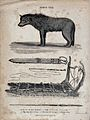 Above, a dog from the arctic highlands; below, a sledge, a w Wellcome V0021857.jpg