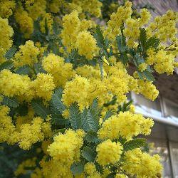 Acacia baileyana.jpg