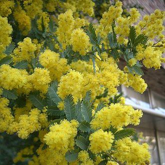 Acacia baileyana - Image: Acacia baileyana