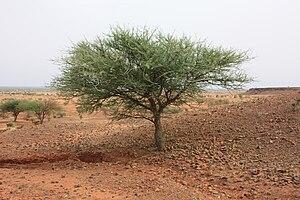 Senegalia laeta - Senegalia laeta on a hill near Djibo, Burkina Faso