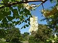 Acacia nigrescens, blomme en loof, b, Pretoria NBT.jpg