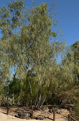 Acacia stenophylla 1