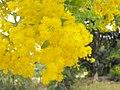 Acaciapodalyriifolia.jpg