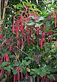 Acalypha hispida TLR1.jpg