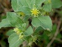 Acanthospermum hispidum W IMG 2211