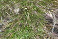 Acer palmatum var. dissectum Ornatum 0zz.jpg