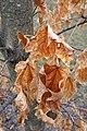 Acer saccharum (Sugar Maple) (32812316210).jpg