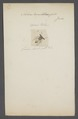 Achias - Print - Iconographia Zoologica - Special Collections University of Amsterdam - UBAINV0274 039 07 0064.tif