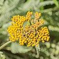 Achillea 'Coronation Gold' in Jardin des 5 sens.jpg