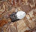 Acleris variegana (43058568010).jpg