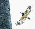 Acorn Woodpecker Family (50197670561).jpg