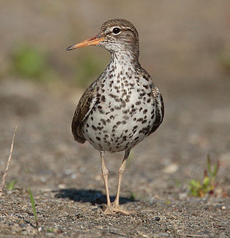 Spotted sandpiper - Image: Actitis macularia 004