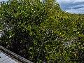 Aegiceras corniculatum and Ceriops australis from Tabilban-dhagun boardwalk Nudgee Creek Nudgee Beach Bramble Bay Queensland P1280504.jpg