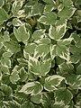 Aegopodium podagraria Variegatum 002.jpg