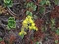 Aeonium lindleyi 003 by Scott Zona.jpg
