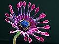 African daisy (Osteospermum sp. 'Pink Whirls').jpg